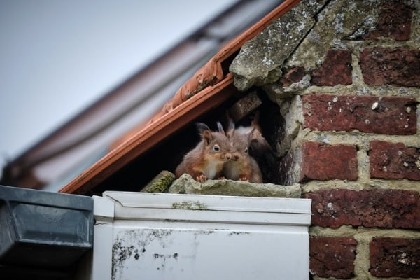 squirrel nest within your home