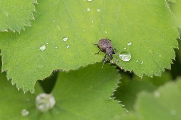 black vine weevil
