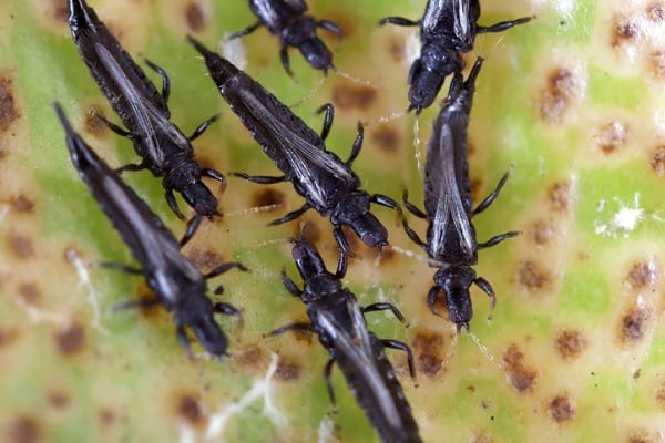 weeping fig thrips