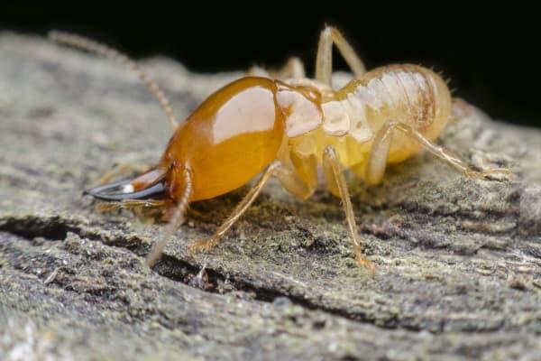 closeup termite