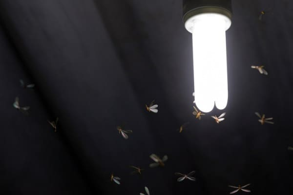 flying termites or alates