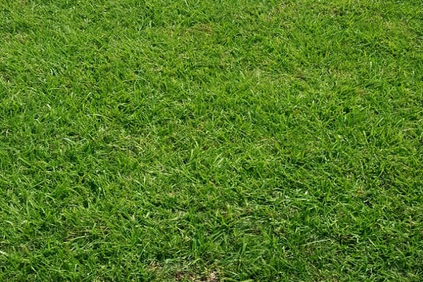 greener grass in yard