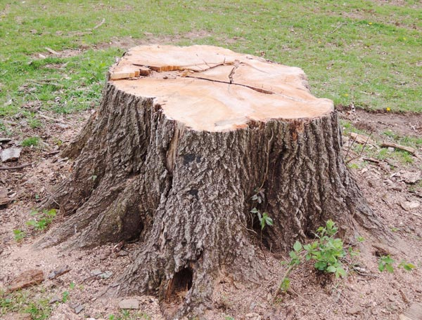 cut tree stump to be removed