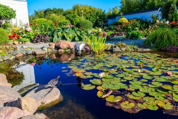 blooming-water-lilies