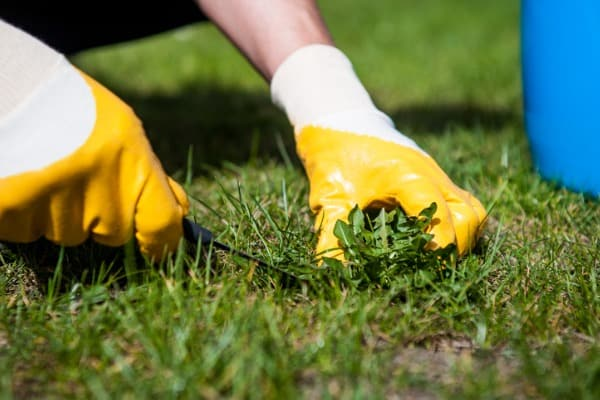 remove-weeds-from-the-lawn