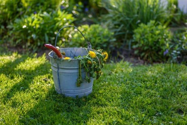 bucket of weeds in lawn