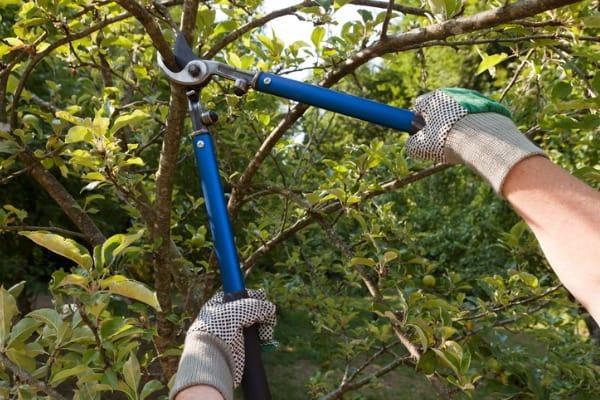 pruning-tree-limbs