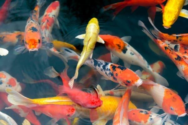 fish carp fancy koi in pond japanese national animal