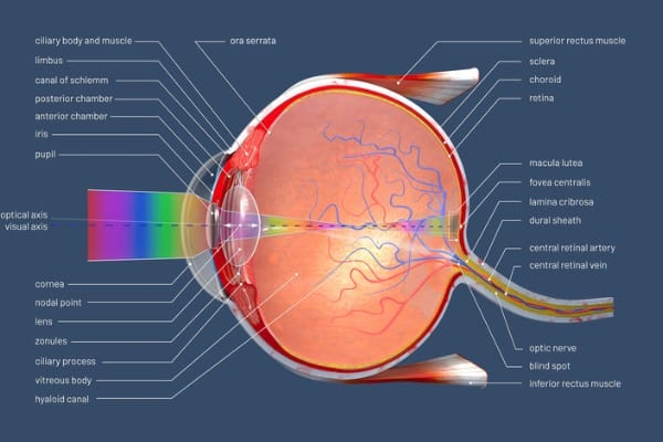 3d illustration of a cross section of the human eye with explanations