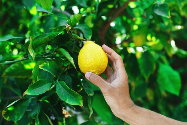 hand picking a fresh ripe lemon from a lemon tree picture id1175558681