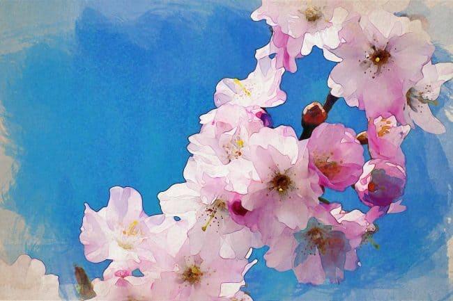cherry blossom pink blue