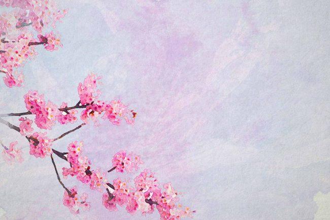 cherry blossom pink tree