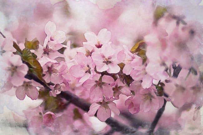 cherry blossom pink white green