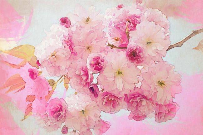 cherry blossom pink white pink