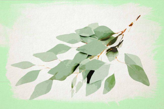 eucalyptus with bright green border