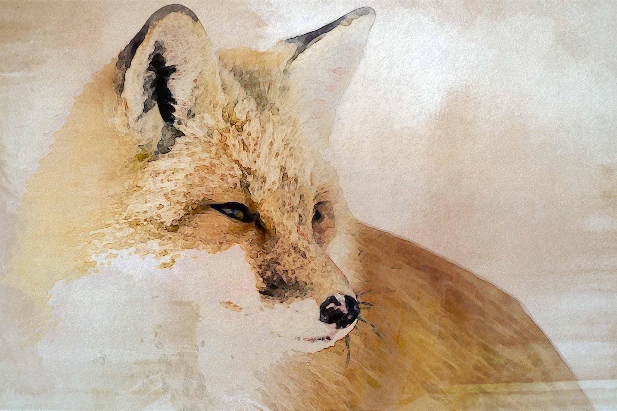 fox red gray yellow