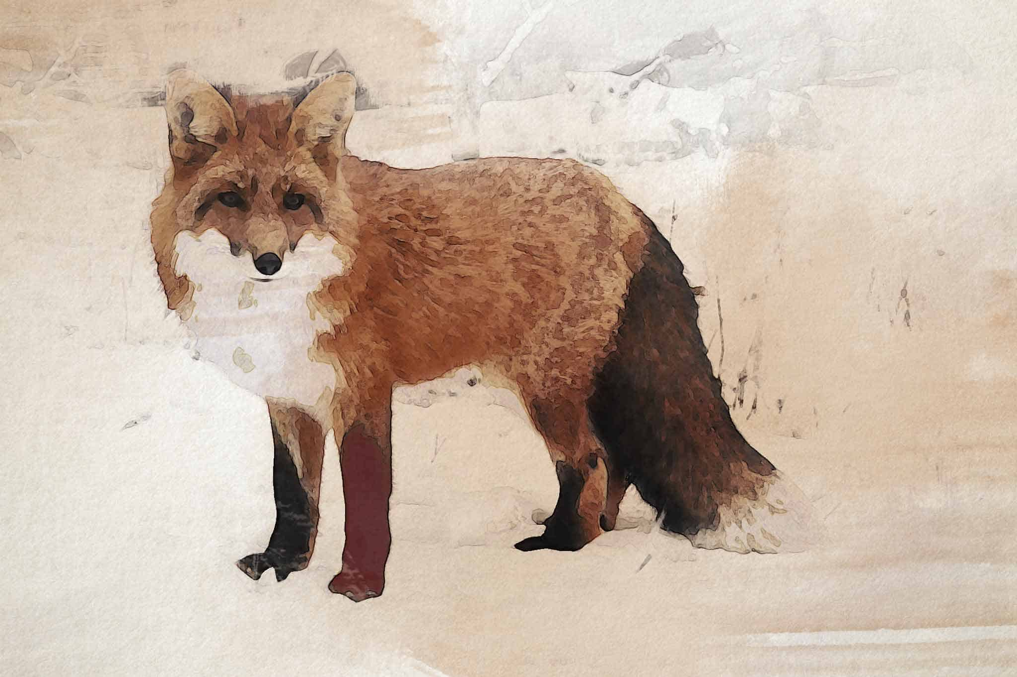 fox red white brown
