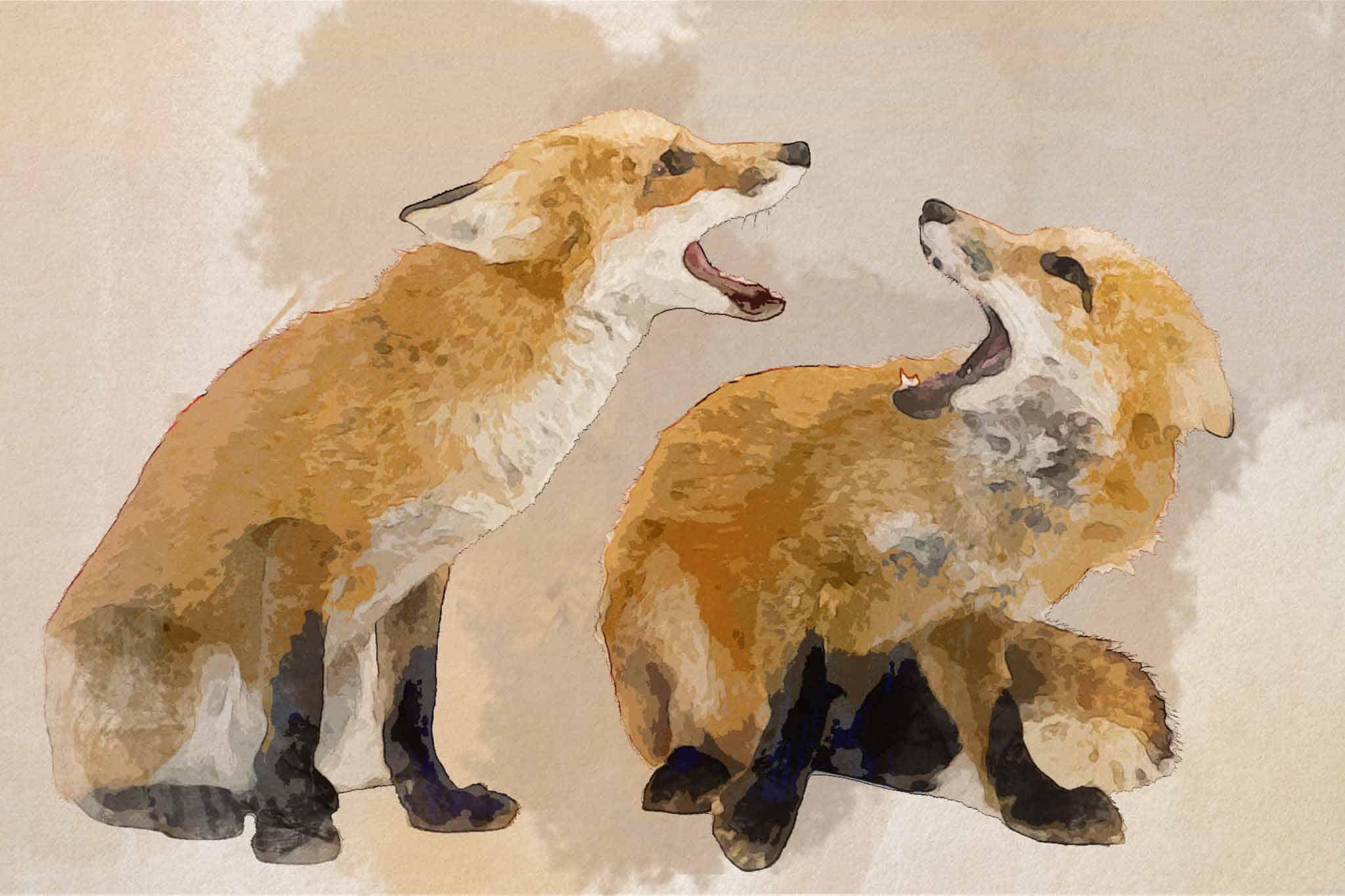 fox red yellow quarreling