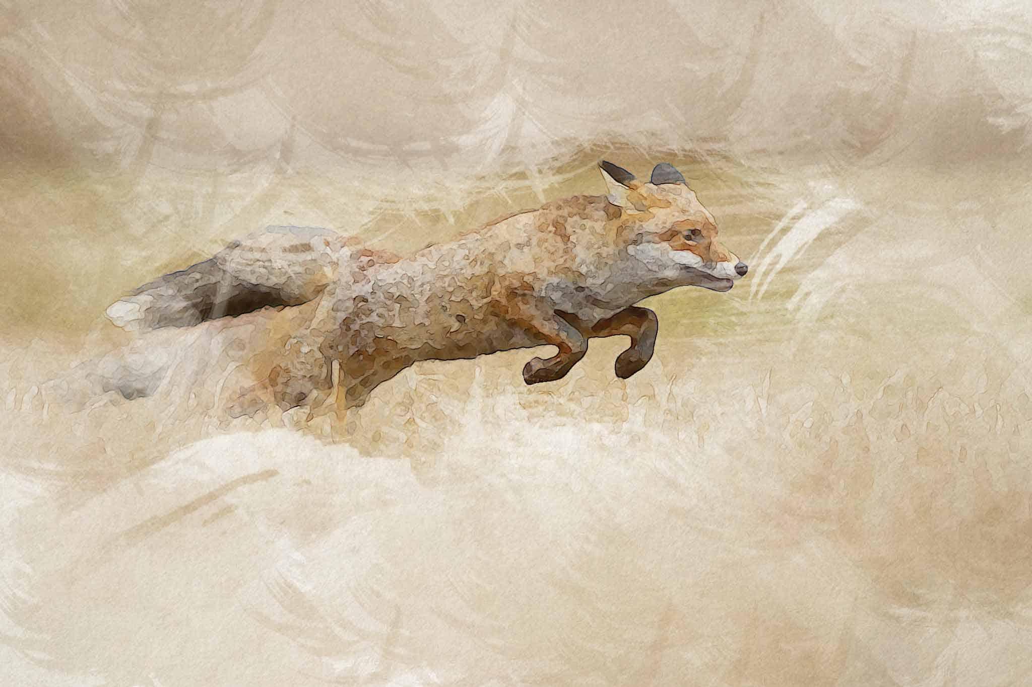 fox red yellow running