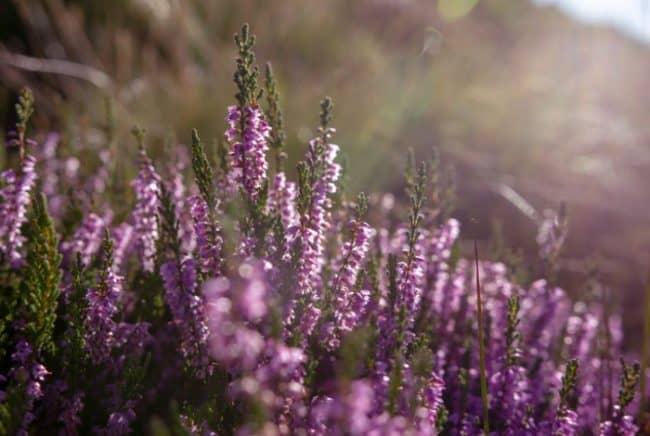 heather plant closeup blossoms
