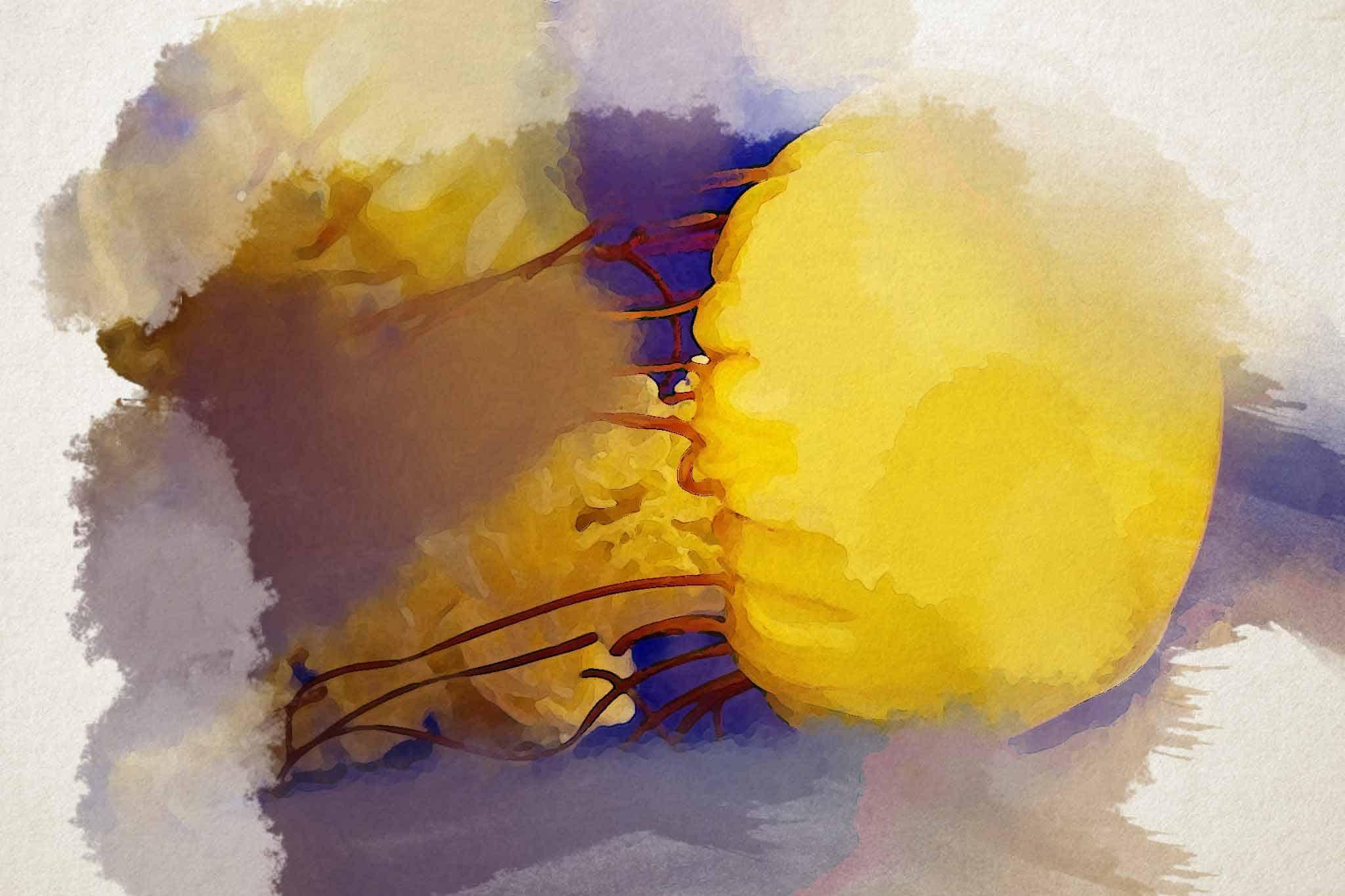 jellyfish yellow purple