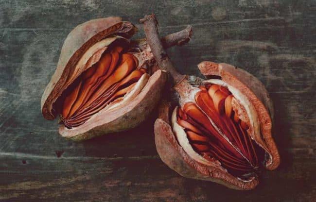 mahogany tree seed example