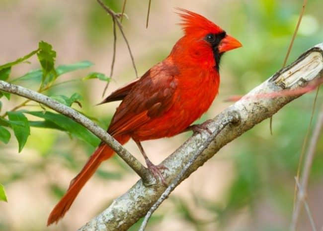 male vermilion cardinal on