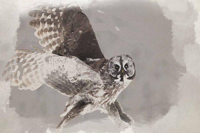 owl ash flying