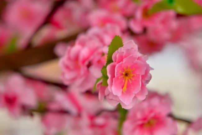 pink blush sakura flower