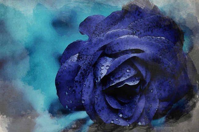 rose blue flower