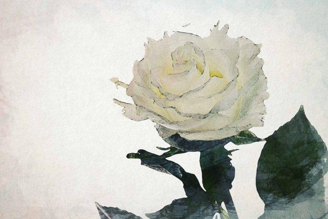 rose white single