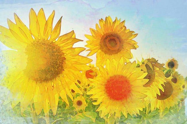 sunflower blue white
