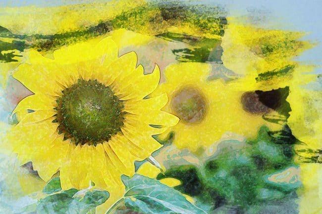 sunflower garden yellow