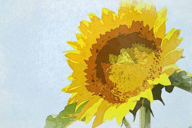 sunflower white brown
