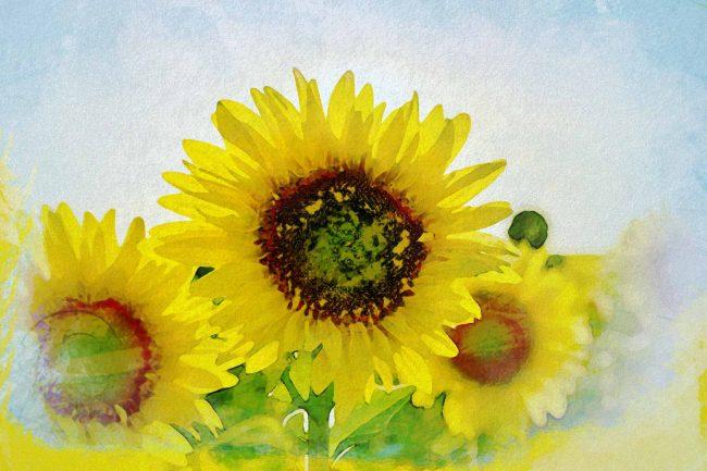 sunflower white yellow