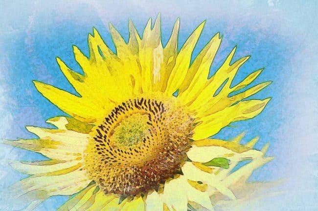 sunflower yellow blue