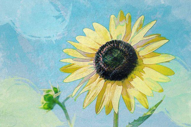 sunflower yellow blue sky