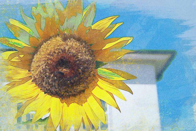sunflower yellow brown