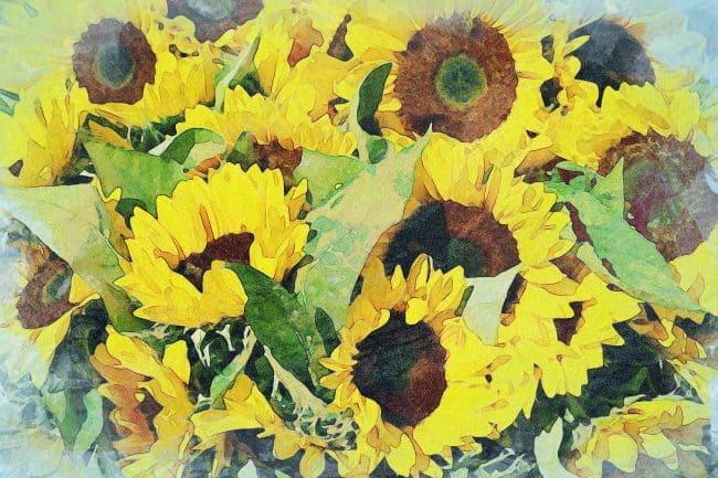 sunflower yellow garden