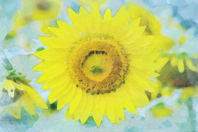 sunflower yellow green