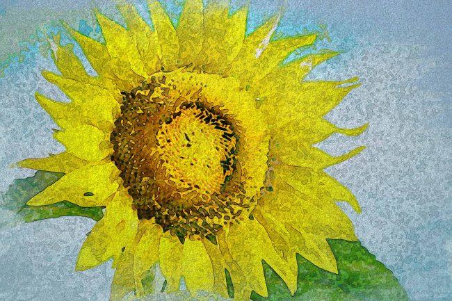 sunflower yellow leaf