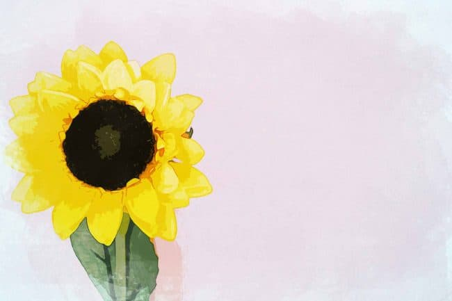 sunflower yellow pink