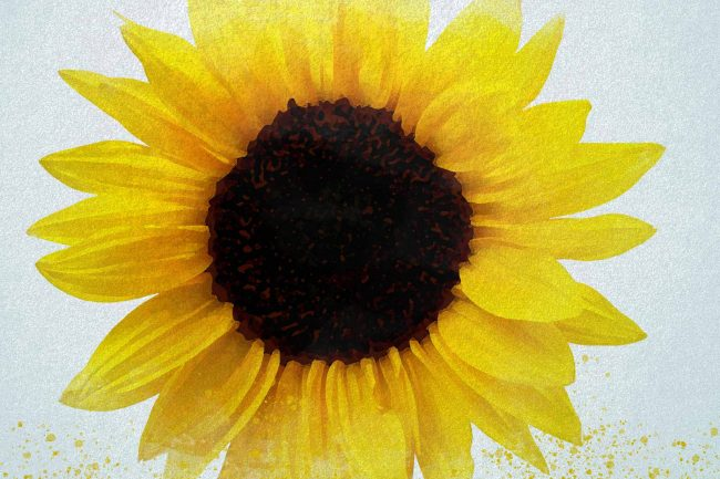 sunflower yellow solid