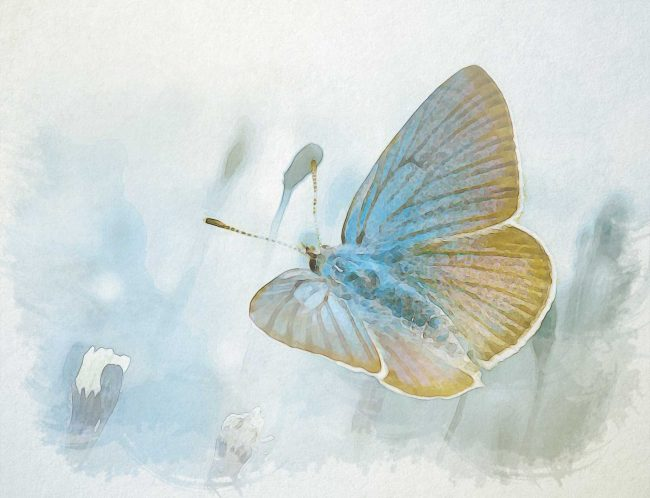 watercolor butterfly faded blue gold