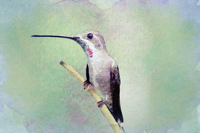 watercolor hummingbird solid green pink