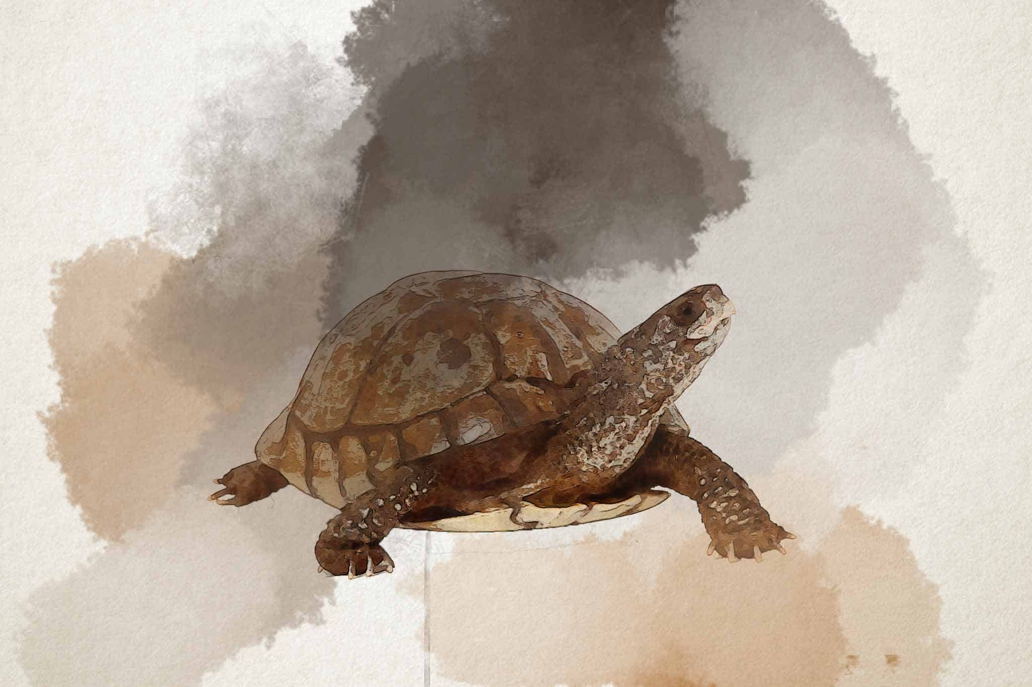 watercolor turtle bellied slider